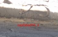 نجات روباه گرفتار شده بین دیوار باغ و رها سازی آن در طبیعت توسط آتش نشانان نجف آباد